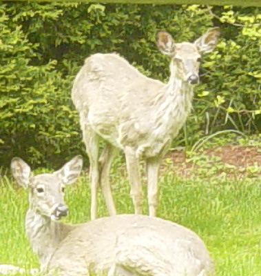 2 of the 3 deer who wandered into our yard at rush hour...